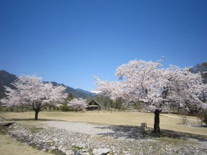 カフェからの眺め桜2014年4月ブログ用①